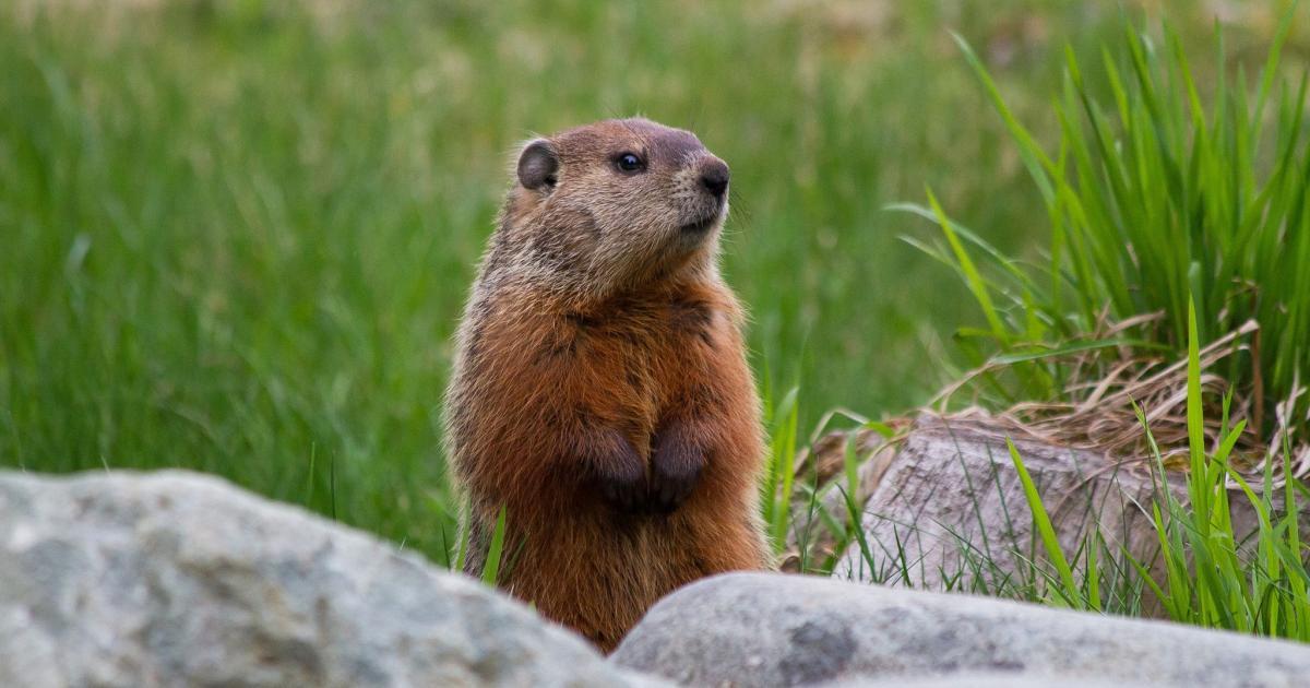 Jovem morre de peste bubônica ao comer carne de marmota na Mongólia