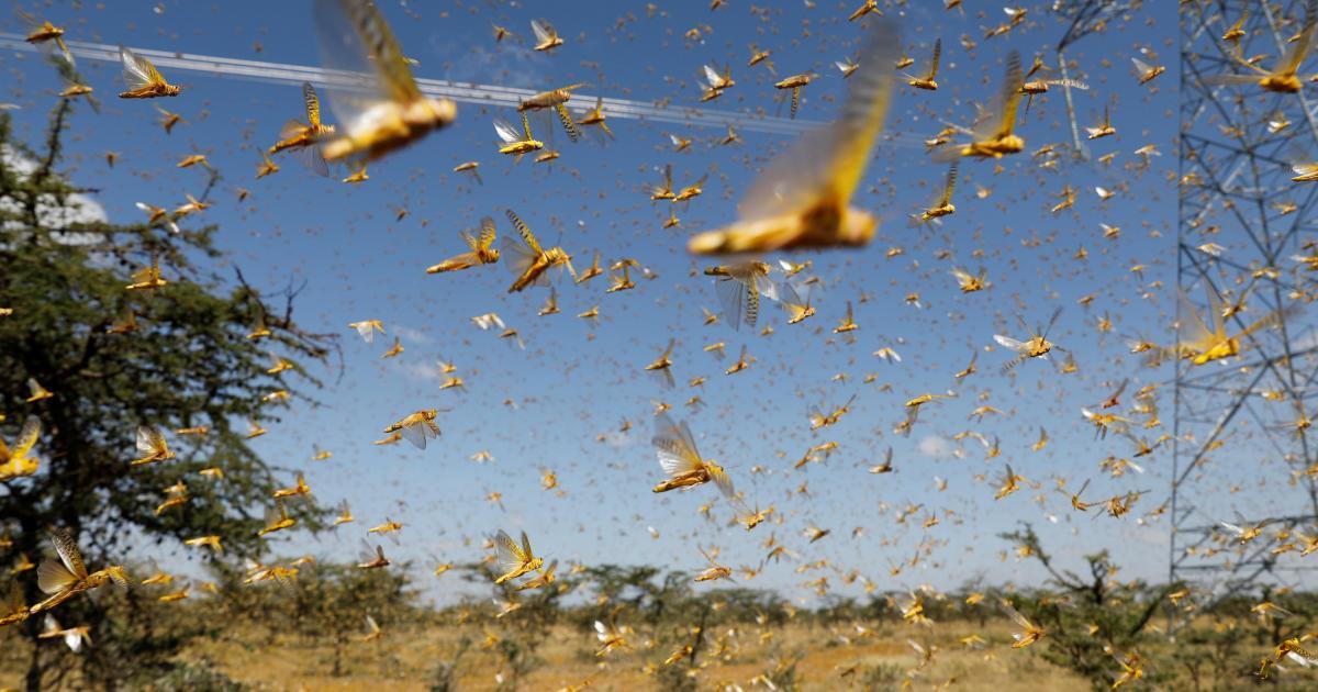 Agricultores do Sul do Brasil voltam a se preocupar com gafanhotos